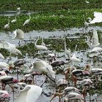 foreign birds in batticaloa 2